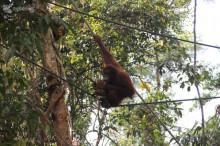 conservacion orangutan