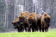 bialowieza bisonte