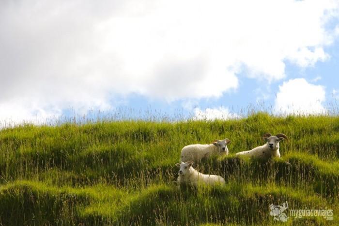 ovejas islandia
