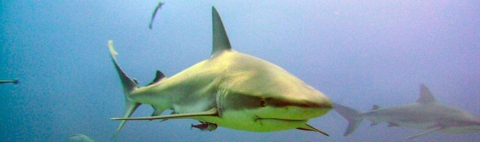 Shark dive roatan