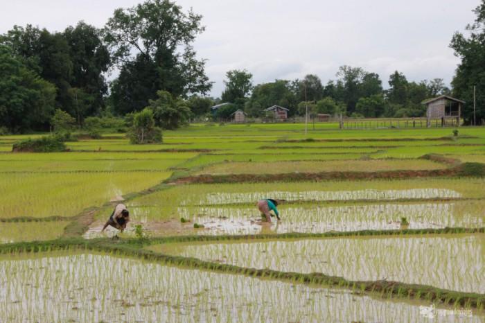 cultivos arroz laos