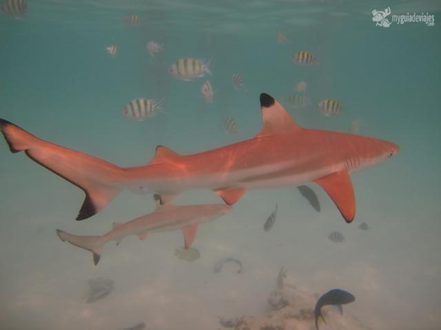 tiburones islas perhentian