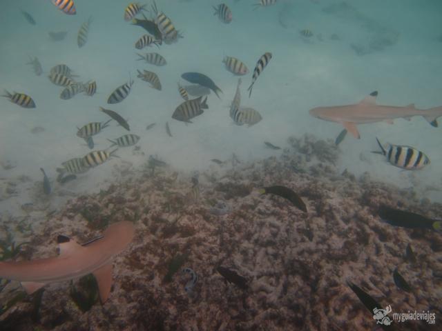 tiburones pulau besar