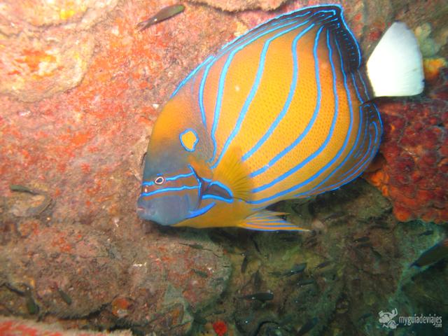 peces malasia