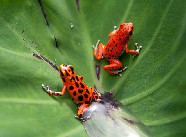 Rana roja de Bocas del Toro. Imagen de https://www.flickr.com/photos/gaspars/6502004397/