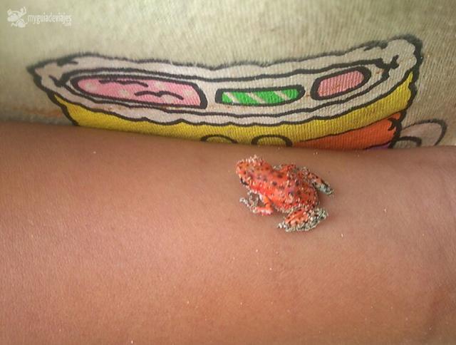 Rana roja de isla bastimentos