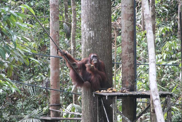 Richie, el rey de la reserva natural de Semmengoh. borneo