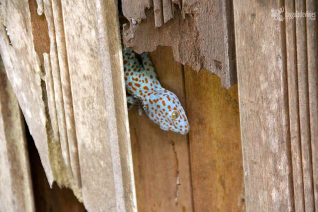 lagarto malasia