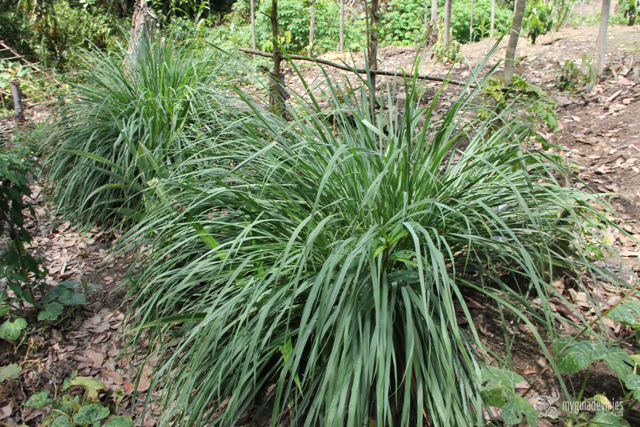 planta de lemongrass