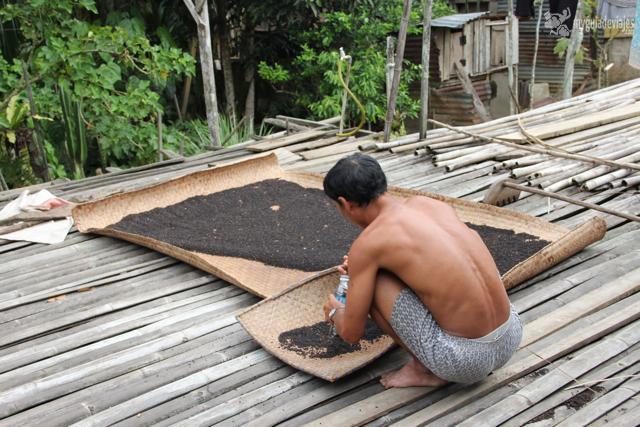Recogiendo pimienta de Borneo.