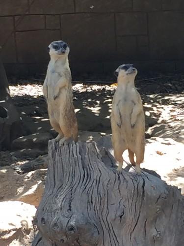 suricatos zoo algarve