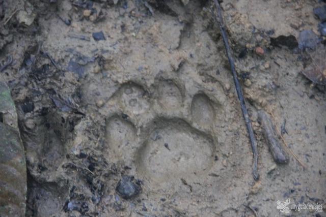 El jaguar andaba cerca