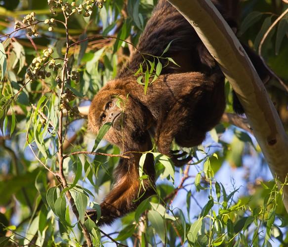 Mono aullador. Imagen de wikipedia.