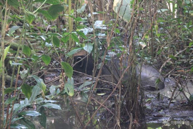 No se ve bien pero ahí hay un tapir.
