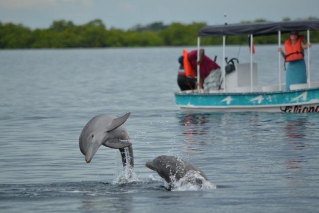 dolphins-boca_del_toro