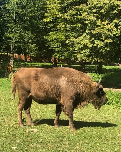 Bisonte hembra en la reserva Zubrov
